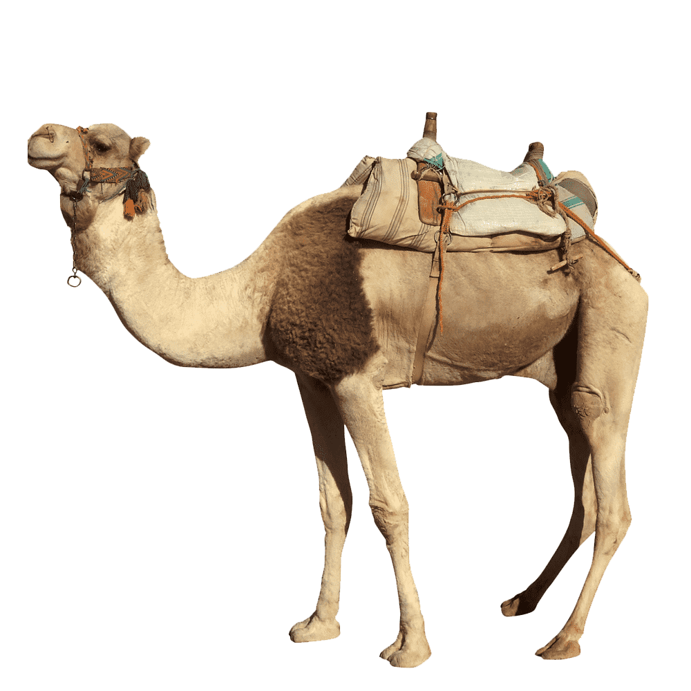 Camel Transparent Picture