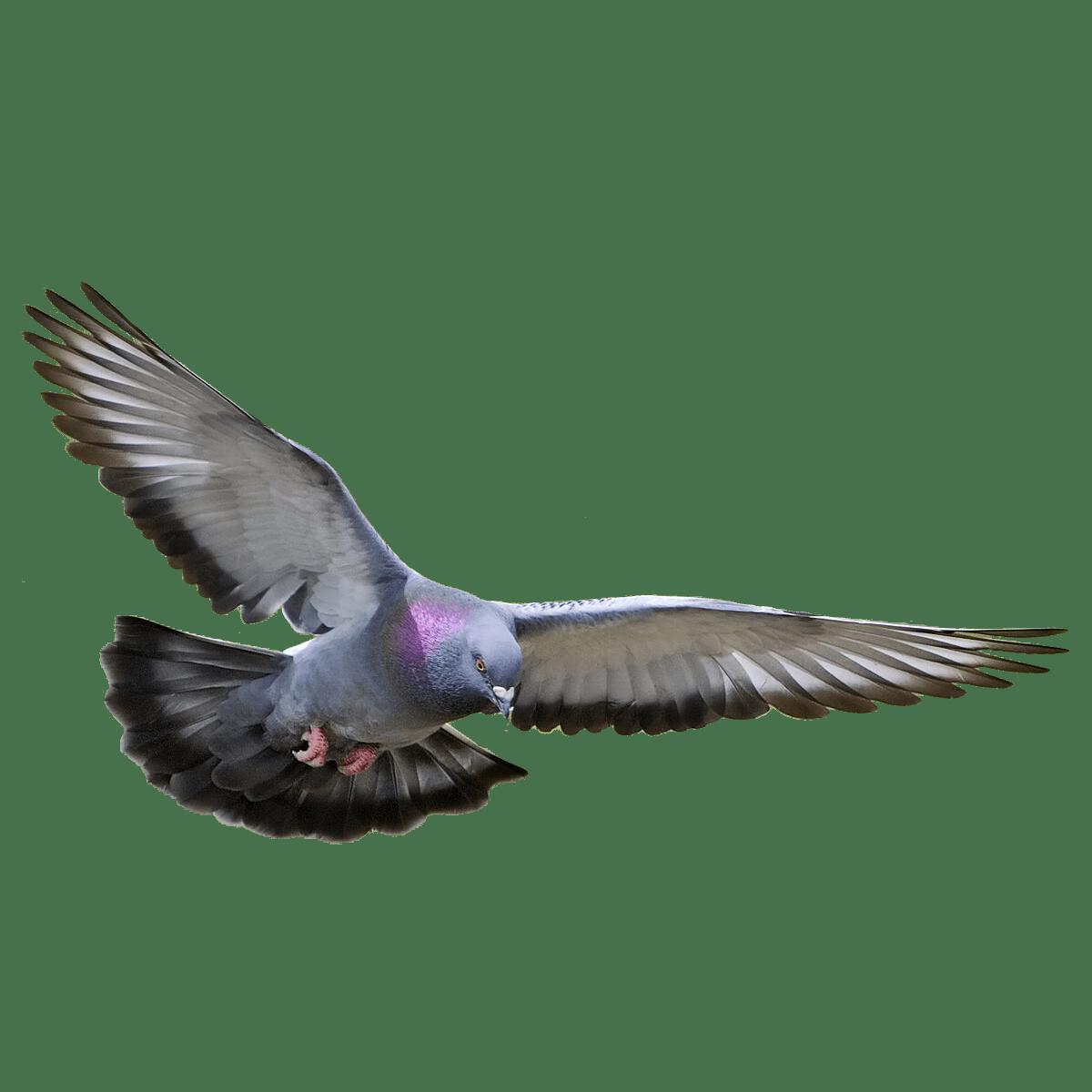 Columbidae Transparent Photo