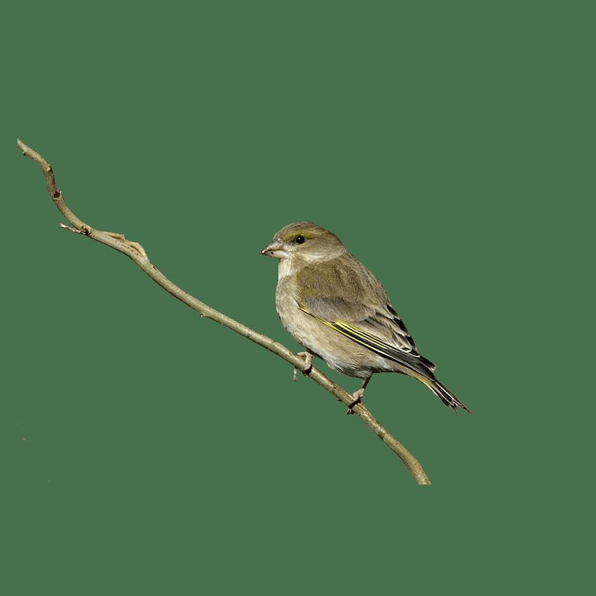 Finch Transparent Picture