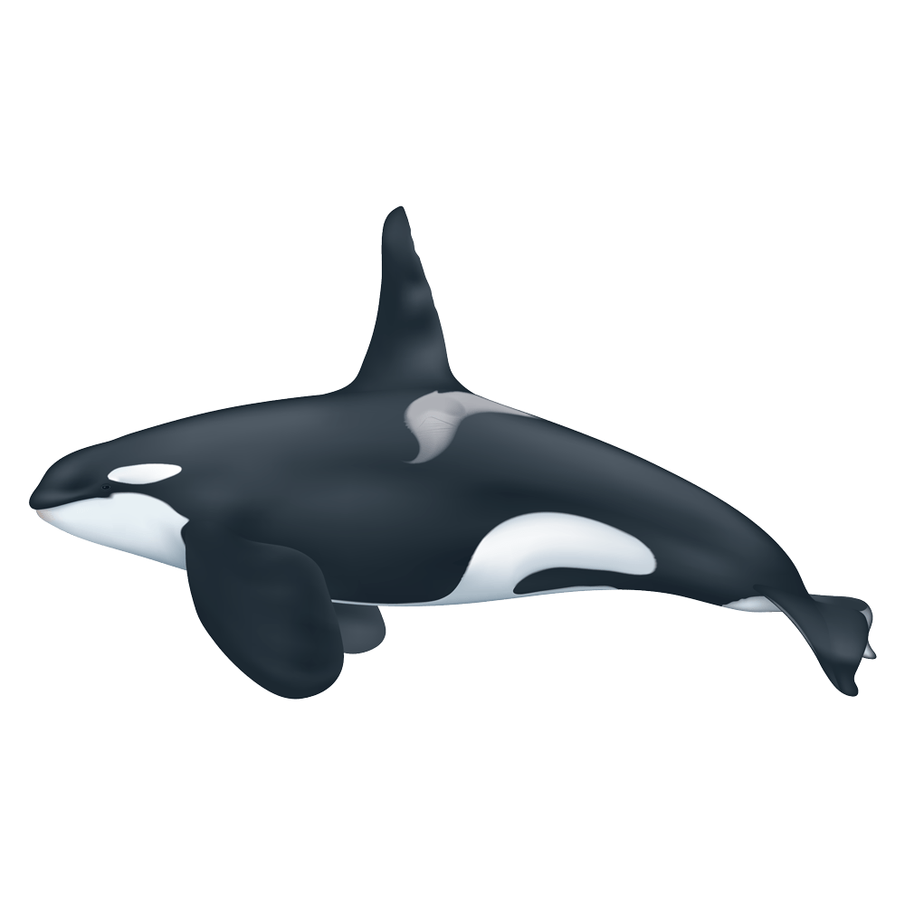 Killer Whale Transparent Gallery