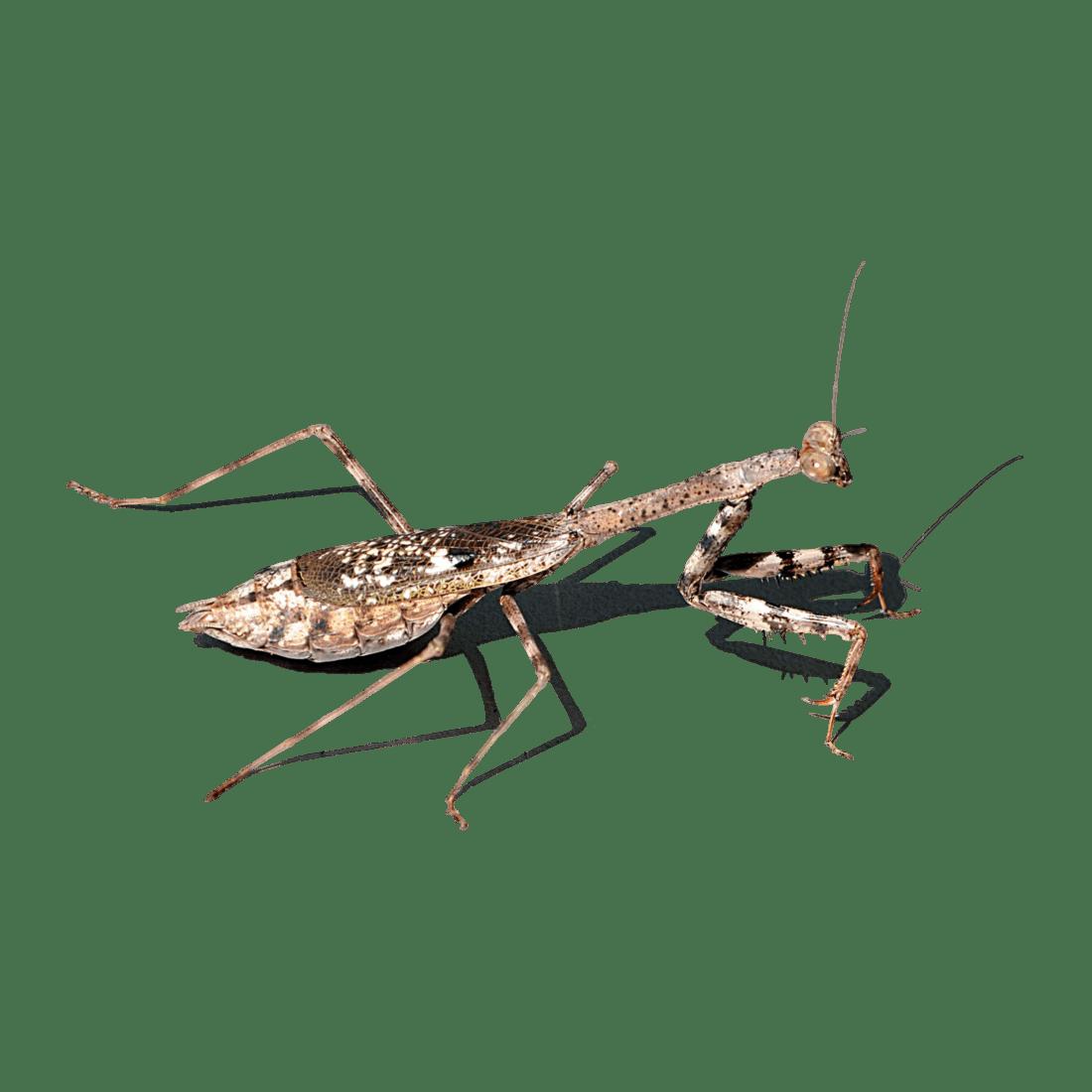 Mantis Transparent Picture