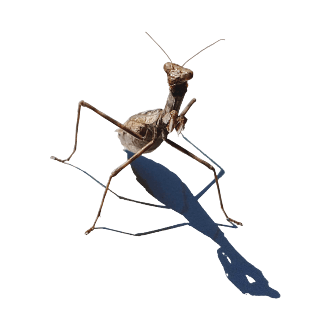 Mantis Transparent Clipart