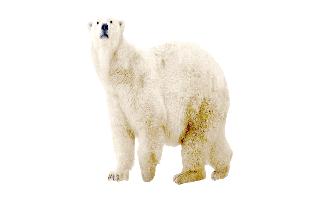 Polar Bear PNG