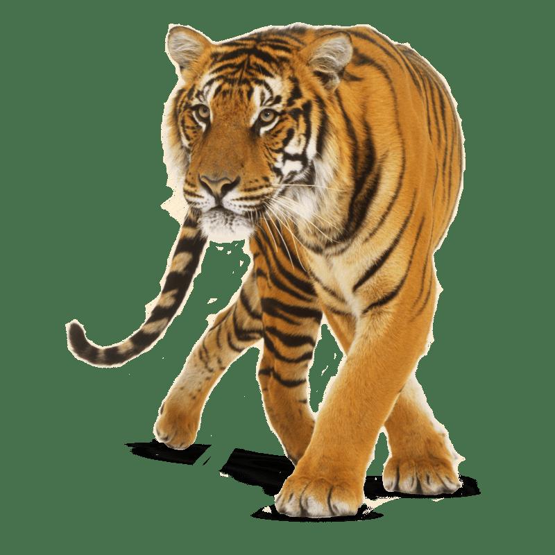 Tiger Transparent Clipart