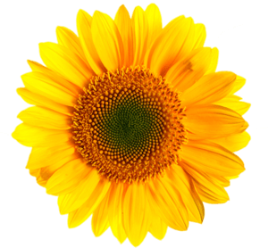 sunflower transparent