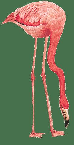 Cute Flamingo Wallpapers Flamingo Png