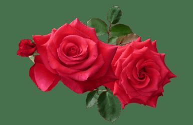 rose roses cut transparent flower flowers testimonials pixabay god help response nature purepng pngimg