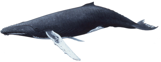 whale transparent pluspng kb pngimg