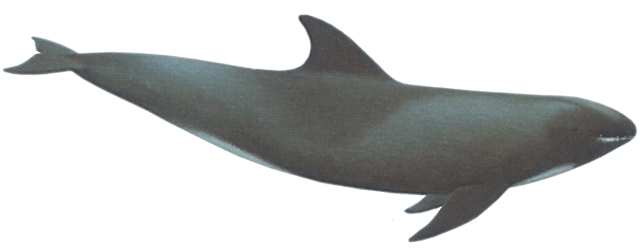 whale baleen whales dolphins sea clip
