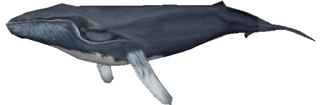 Download Northern Humpback Whale Zoo Tycoon 2 Humpback Whale PNG Image with No Background PNGkey com