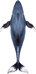 Download Activities Humpback Whale PNG Image with No Background PNGkey com