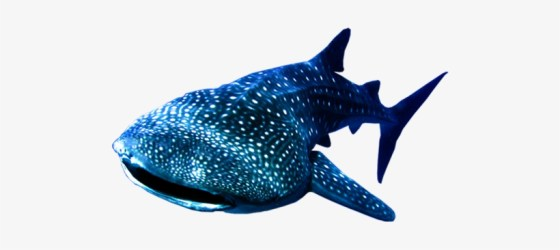 Whale Shark Png Whale Shark Transparent Background 494x286 PNG Download PNGkit