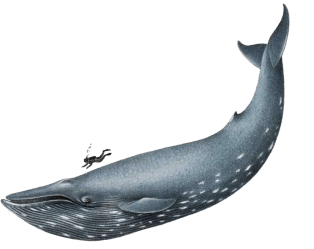 Download Blue Whale Png File Whale Png Full Size PNG Image PNGkit