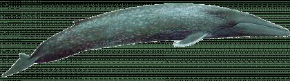 whale transparent designing background pngmart