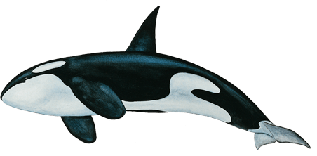 Killer Whale PNG Free Download PNG Mart