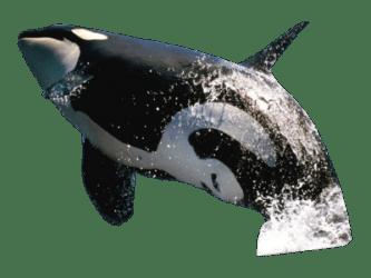 whale killer transparent background jumping psd whales freepngimg clipart pngmart clip detail