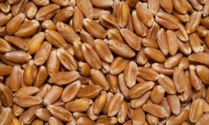 обробка насіння