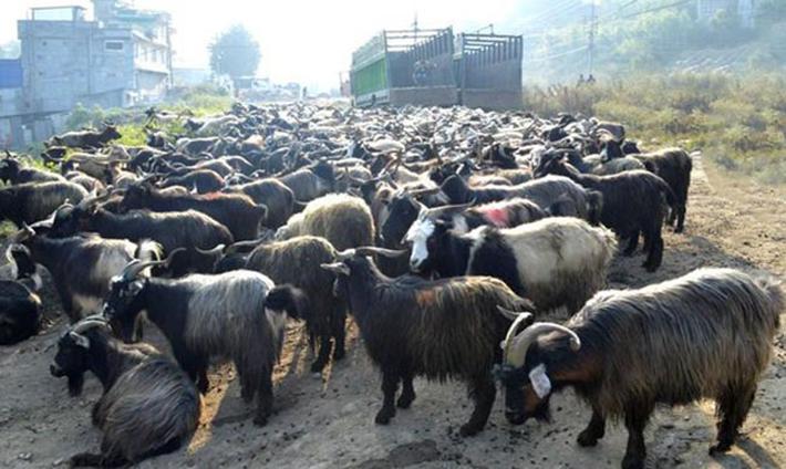 दशैँ तिहारका लागि दार्चुलाबाट भेडा–च्याङ्ग्रा निर्यात