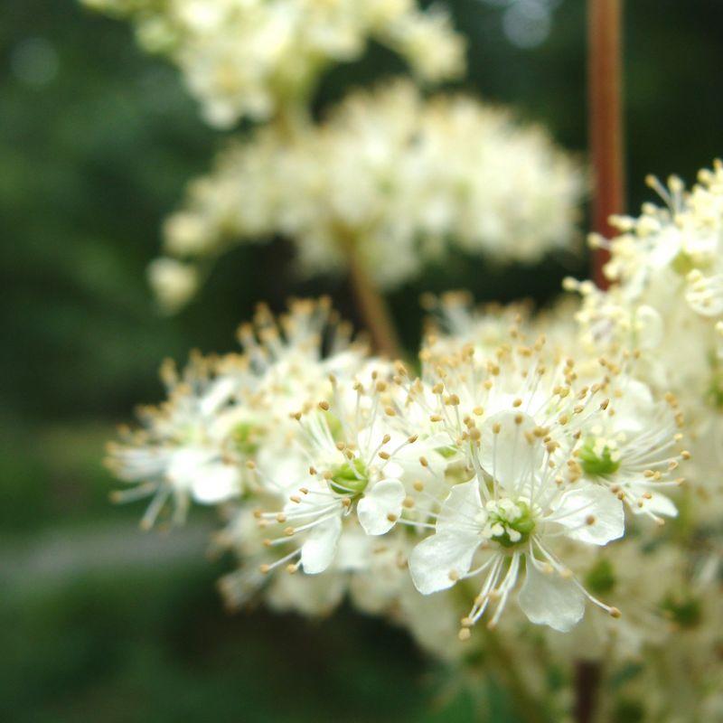La Reine des prs plante du Marais poitevin