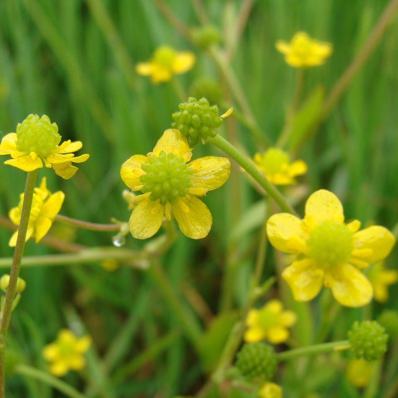 Renoncule Feuilles DOphioglosse Plante Du Marais Poitevin