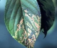 Cherry (Prunus spp.)-Prunus Necrotic Ringspot | Pacific ...