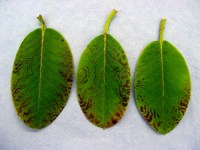 Rhododendron-Necrotic Ringspot | Pacific Northwest Pest ...