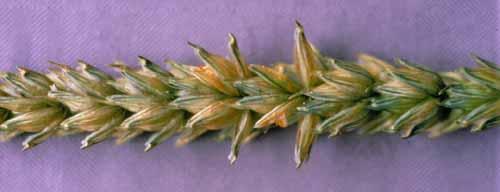 Wheat Triticum aestivumStripe Rust Yellow Rust  Pacific Northwest Pest Management Handbooks