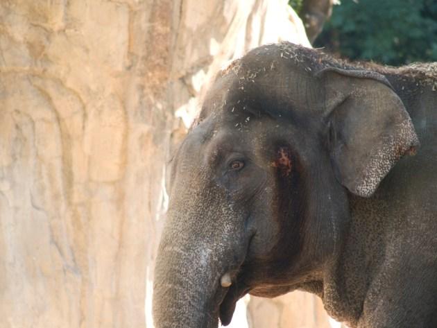 Elephant at the Oregon Zoo