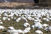 Bloody Snow Goose (Chen caerulescens)