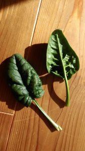 サボイほうれん草の葉