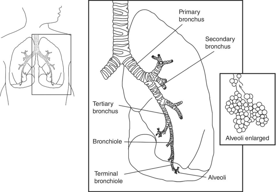 Diagram of the upper airway composed of the hard and soft palates, nasal conchae, nose, mouth, pharynx, tongue, uvula, hyoid bone epiglottis, vocal cords, larynx, trachea, and oesophagus.