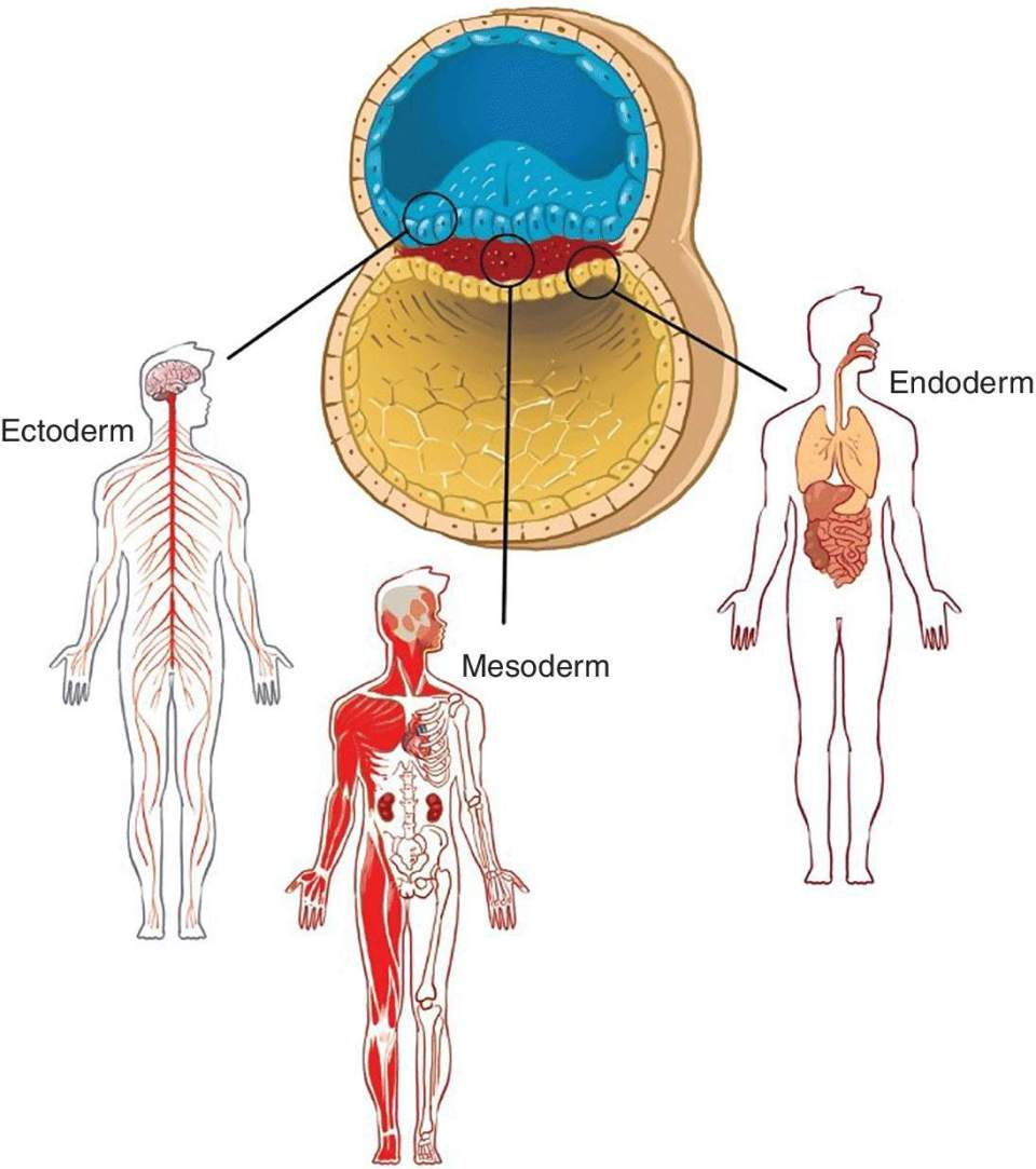 Illustration of derivatives of germ layers with three human figures labeled Ectoderm, Mesoderm, and Endoderm, respectively.