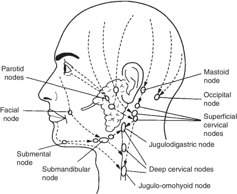 Line drawing of a human head featuring parotid nodes, facial node, submental node, mastoid node, occipital node, deep cervical nodes, superficial cervical nodes, Jugulo-omohyoid node, and jugulodigastric node.