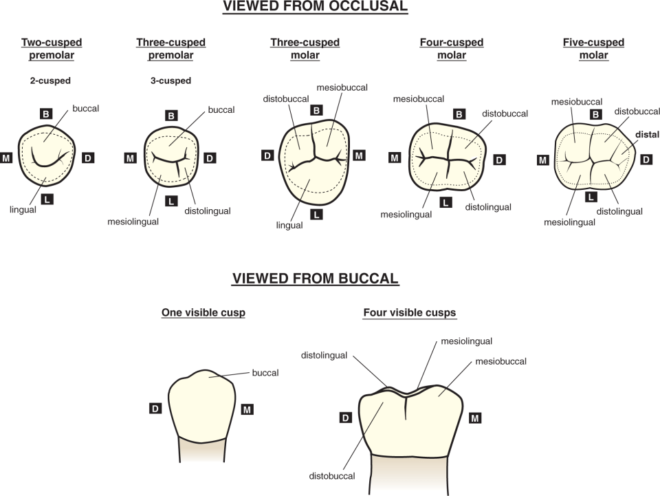 Seven illustrations of teeth show different cusp names.