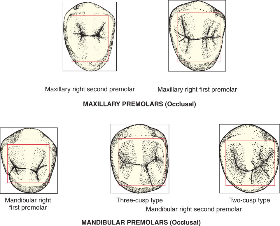 An illustration shows the arch differences in the outline of premolars.