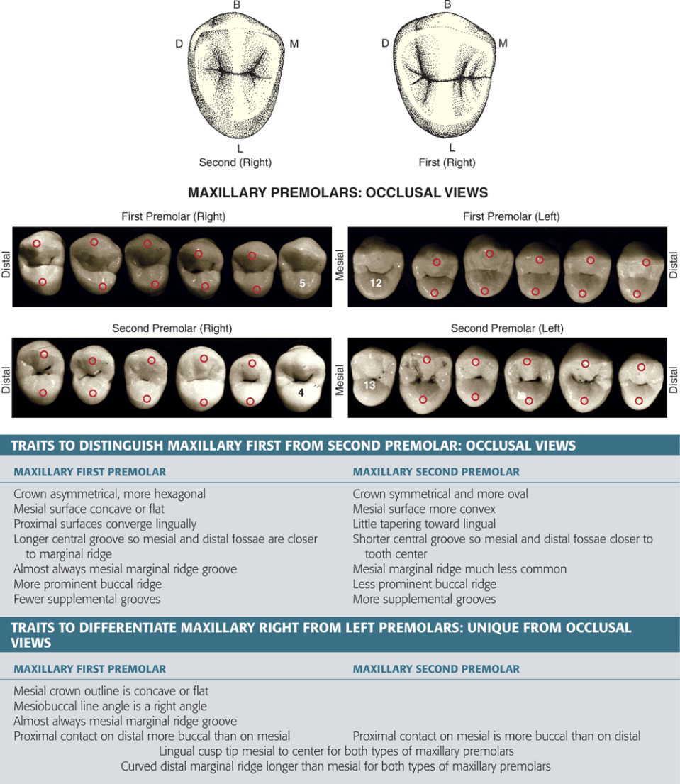 An illustration and four photos show the occlusal views of maxillary premolars.