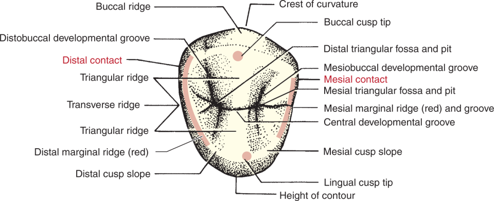 An illustration shows the maxillary right first premolar with their parts.