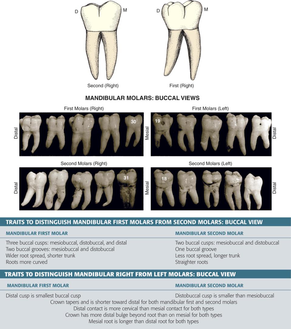 An illustration shows the mandibular molar cusp and groove names.