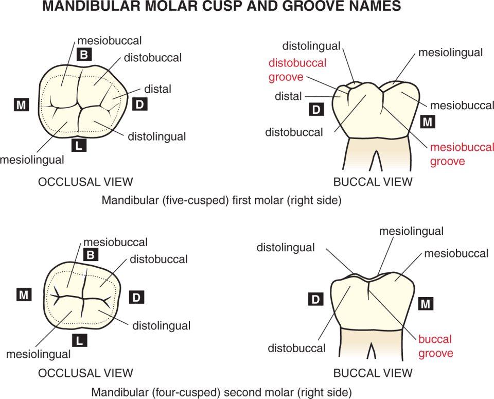 A photo shows the occlusal view and buccal view of mandibular right first molar.
