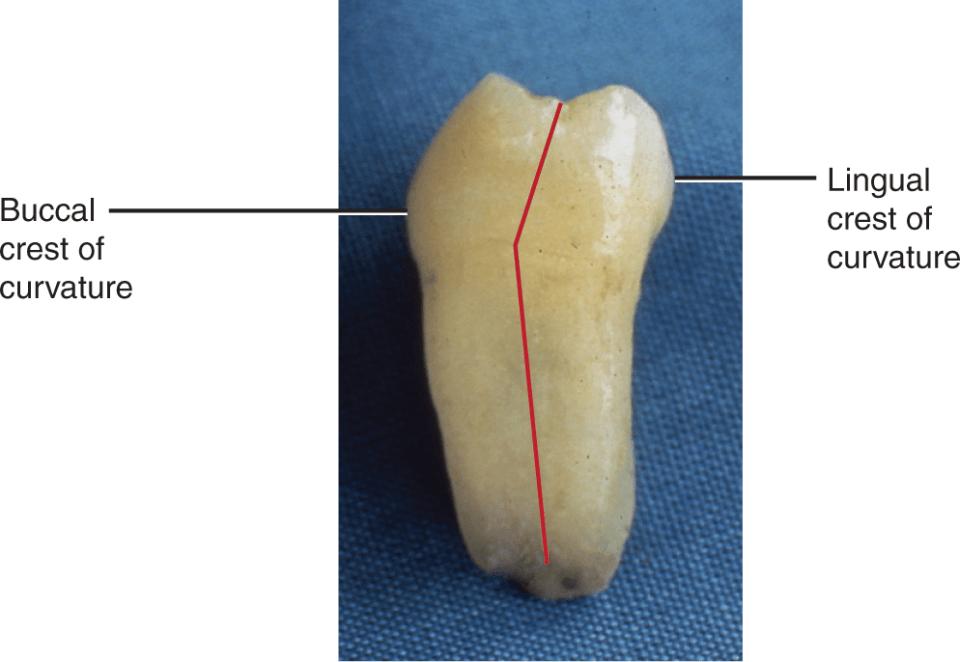 A photo shows the cervical ridge of the mandibular first molar.