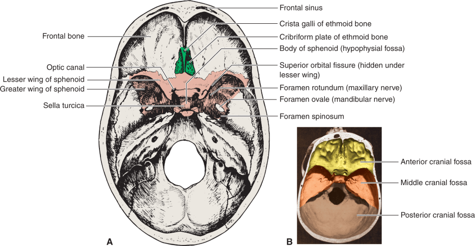 Illustration A shows the superior view of the bones lining the inside of the neurocranium in the human skull. Illustration B shows the divisions in the floor of the neurocranium