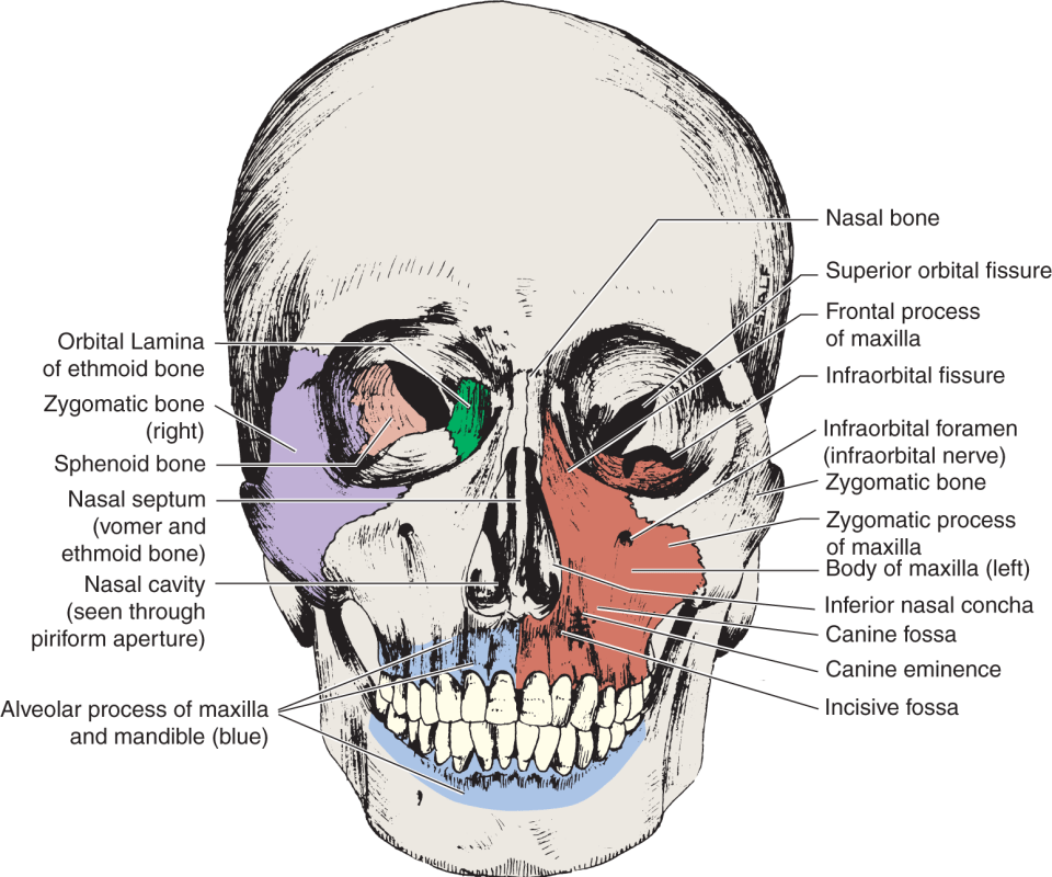 An illustration shows the frontal view of the human skull.