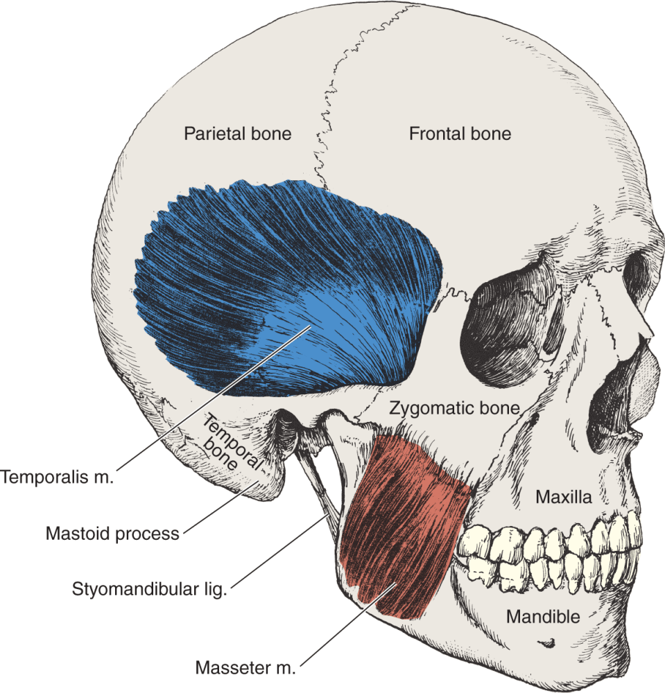 An illustration shows the parts of the human skull.
