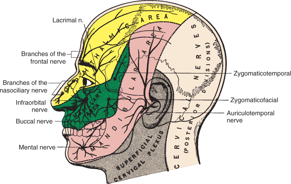 An illustration shows the structure of human face.