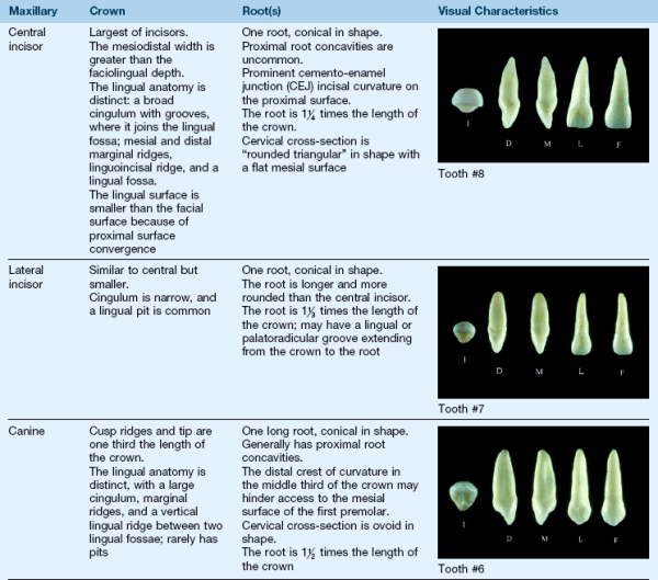 5 Clinical Oral Structures Dental Anatomy and Root