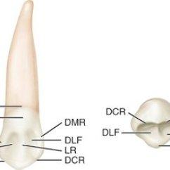 Teeth Diagram Labeled Vauxhall Astra J Towbar Wiring 8: The Permanent Canines: Maxillary And Mandibular | Pocket Dentistry