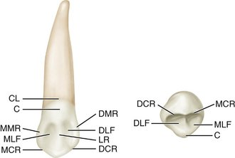 teeth diagram labeled square d homeline load center wiring 8: the permanent canines: maxillary and mandibular   pocket dentistry