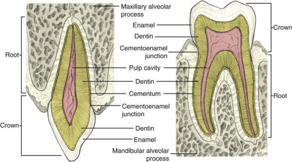 4 Dental Anatomy Pocket Dentistry