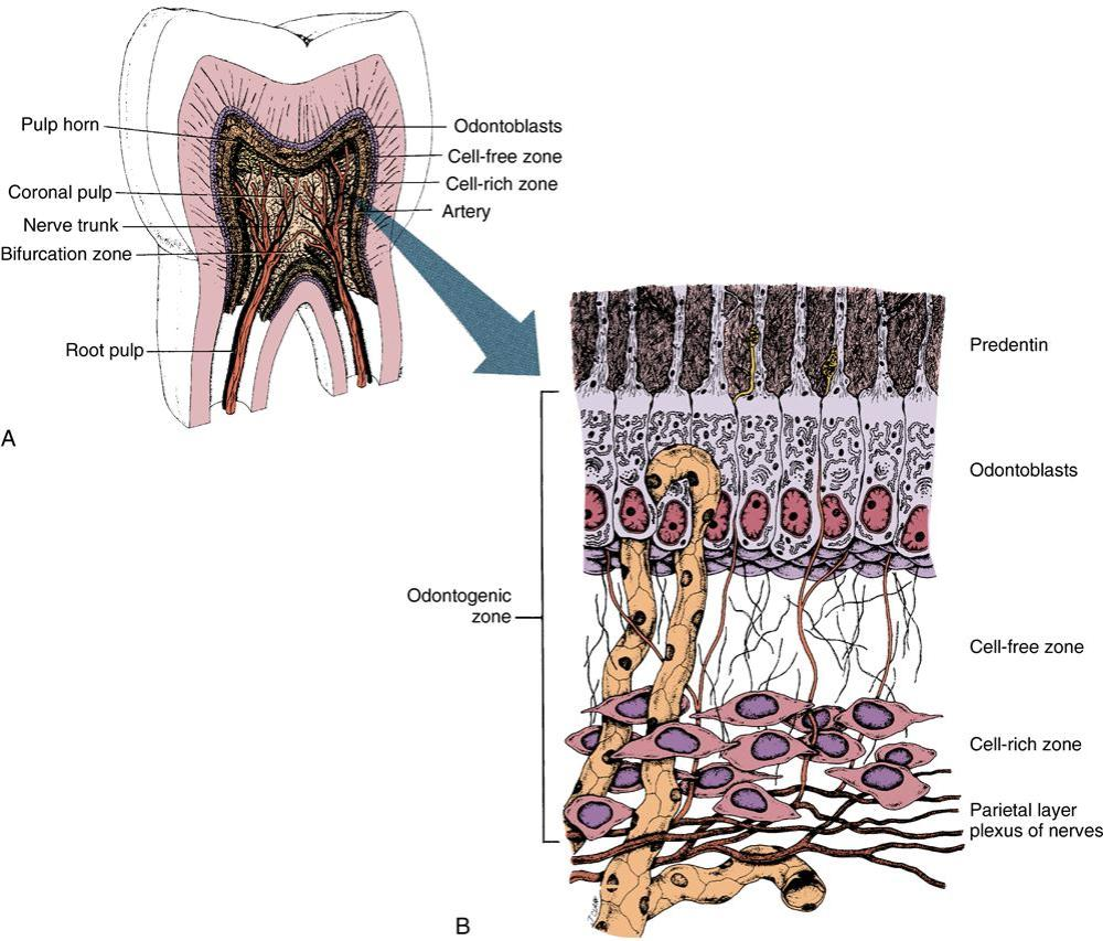 medium resolution of 9 5 diagram of pulp organ illustrating pulpal architecture a there appears high organization of the peripheral pulp and the appearance of centrally