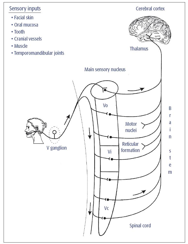 hight resolution of fig 5 1 major somatosensory pathway from the mouth and face trigeminal v primary afferents have their cell bodies in the v ganglion and project to